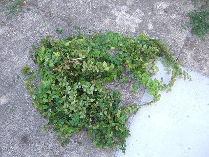 Ficus pumila - Page 4 Dscf7851