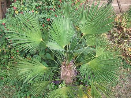 Trachycarpus fortunei 'Wagnerianus' Dscf7911