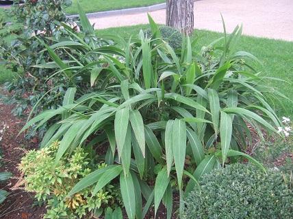 Setaria palmifolia - sétaire à feuilles de palmier Dscf7920