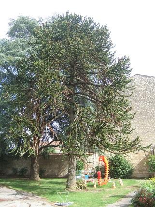 Araucaria araucana - désespoir du singe - Page 3 Dscf8013
