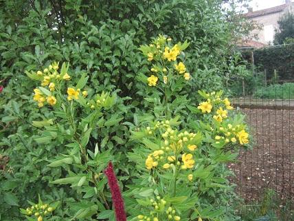 Senna floribunda et Senna corymbosa (= Cassia) - Page 2 Dscf8021