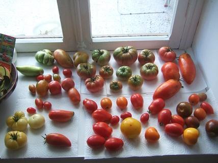 Solanum lycopersicum - les tomates - Page 6 Dscf8112