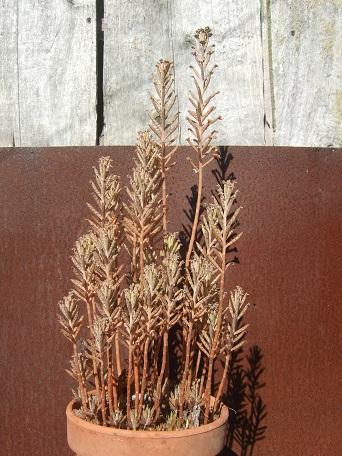 Bryophyllum delagoensis (= Kalanchoe delagoensis = K. tubiflora) et hybrides - Page 3 Dscf8117