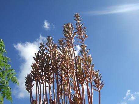 Bryophyllum delagoensis (= Kalanchoe delagoensis = K. tubiflora) et hybrides - Page 3 Dscf8118