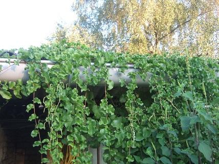 Anredera cordifolia = Boussingaultia baselloides - boussingaultie - Page 3 Dscf8127