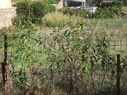 Solanum bonariense Dscf8210