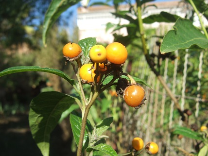 Solanum bonariense Dscf8212