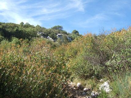 Bupleurum fruticosum - buplèvre arbustif Dscf8216
