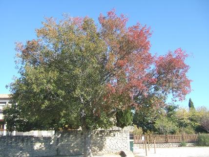 Acer monspessulanum - érable de Montpellier Dscf8419