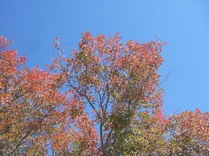 Acer monspessulanum - érable de Montpellier Dscf8420
