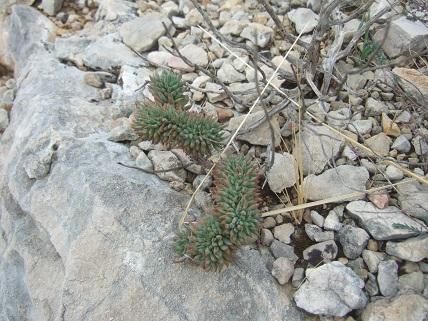 Petrosedum sediforme (ex Sedum) - orpin de Nice - Page 2 Dscf8421