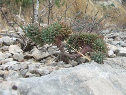 Petrosedum sediforme (ex Sedum) - orpin de Nice - Page 2 Dscf8422