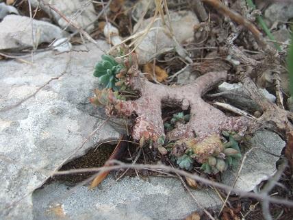 Petrosedum sediforme (ex Sedum) - orpin de Nice - Page 2 Dscf8423