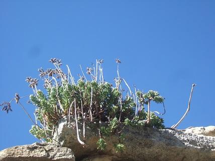 Petrosedum sediforme (ex Sedum) - orpin de Nice - Page 2 Dscf8424