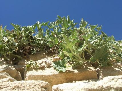 Ecballium elaterium - concombre d'âne, concombre sauteur Dscf8428