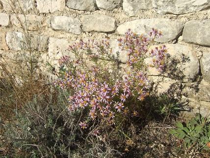 Galatella sedifolia (= Aster sedifolius) - aster à feuilles d'orpin Dscf8510