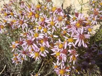 Galatella sedifolia (= Aster sedifolius) - aster à feuilles d'orpin Dscf8512