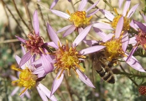 Galatella sedifolia (= Aster sedifolius) - aster à feuilles d'orpin Dscf8513