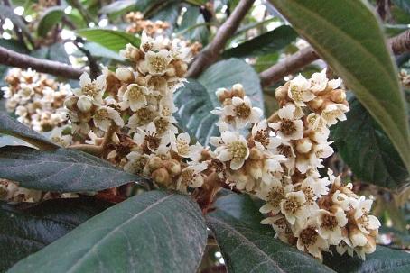 Eriobotrya japonica - bibacier, néflier du Japon Dscf8612