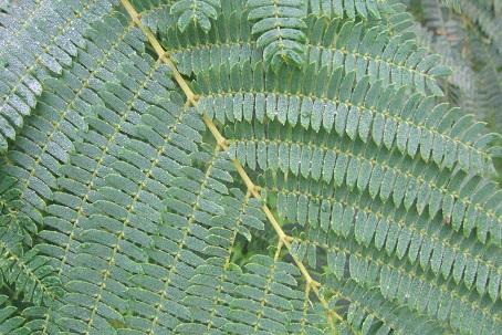 Albizia julibrissin - arbre à soie  Dscf8629