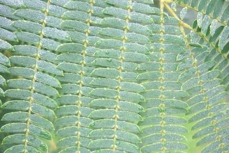 Albizia julibrissin - arbre à soie  Dscf8630