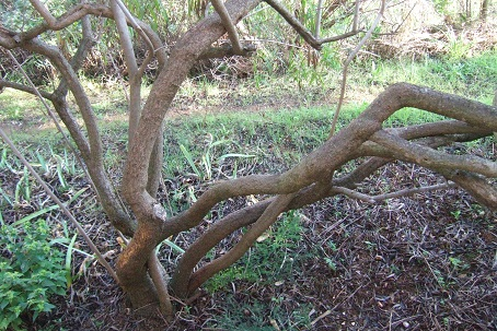 Freylinia lanceolata Dscf8711