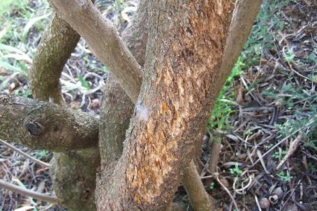 Freylinia lanceolata Dscf8713