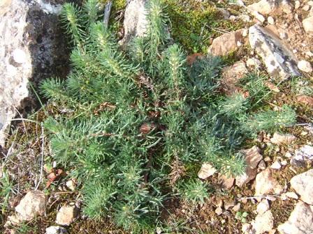 Ajuga iva subsp. pseudoiva - bugle fausse ivette Dscf8731