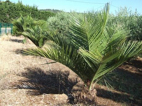 Jubaea chilensis - cocotier du Chili Dscf9811