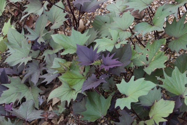 Les plantes font tapis - Les votes Img_6910