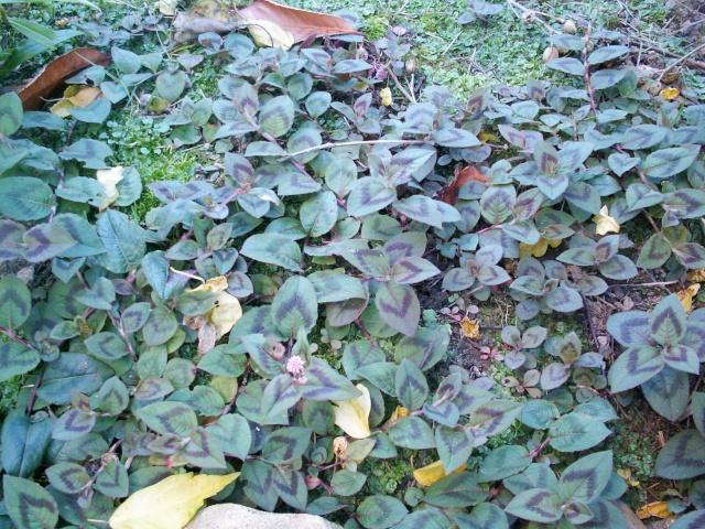 Les plantes font tapis - Les votes Persic10