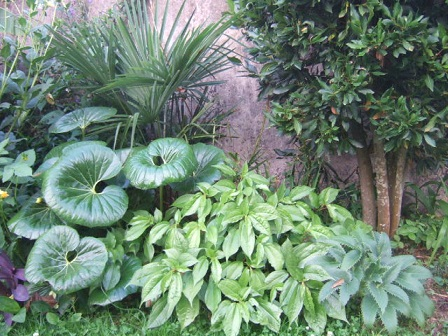 Pilea plataniflora Quelqu11