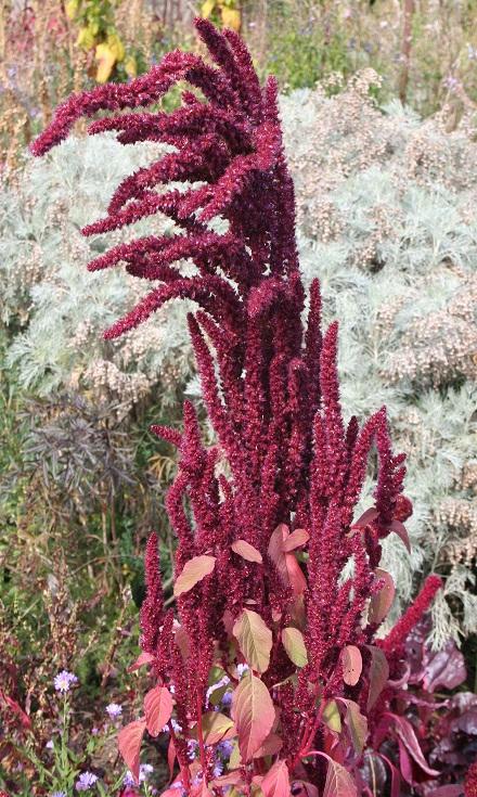 Amaranthus - les amarantes horticoles - Page 4 Img_0310
