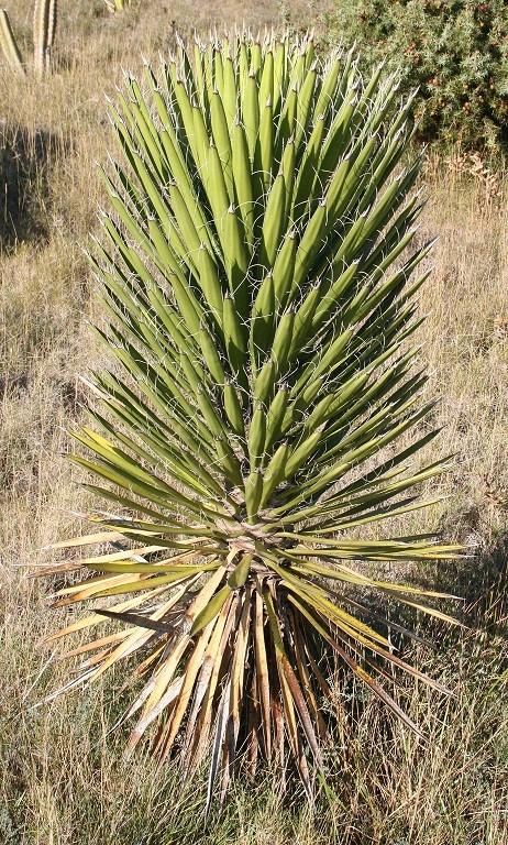 Yucca filifera Img_0317
