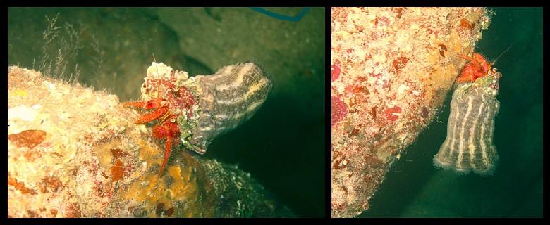 Plongées au Cap de Creus - Costa Brava. Gdblrn10