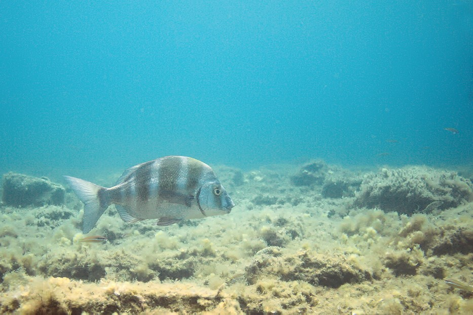 Plongées au Cap de Creus - Costa Brava. P1060812