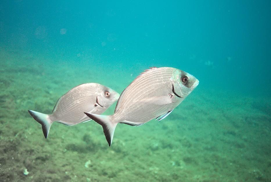 Plongées au Cap de Creus - Costa Brava. P1060911