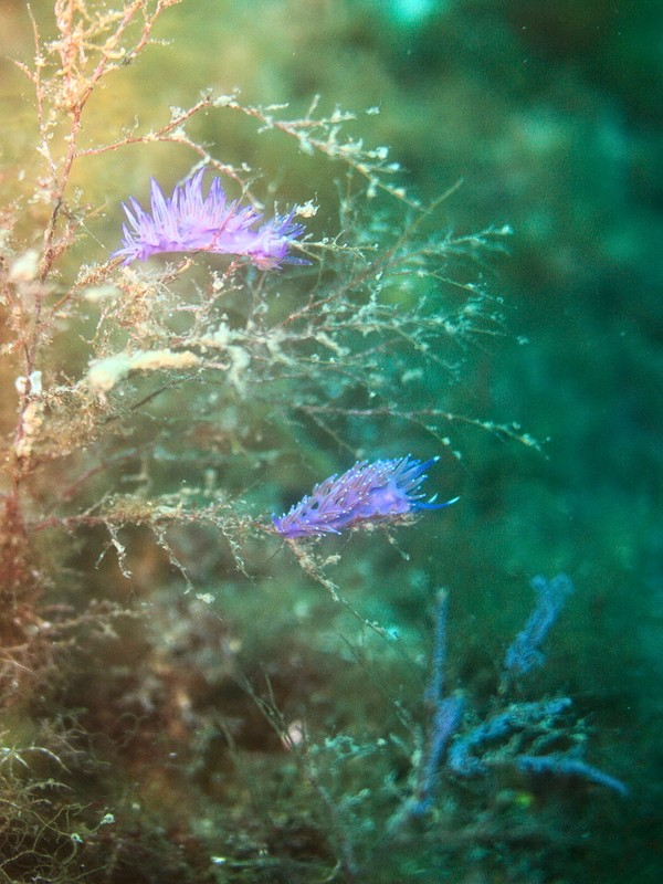 Plongées au Cap de Creus - Costa Brava. P1070212