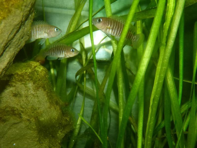 300L Tanga: Multi/cyprichromis - Page 2 P1020510
