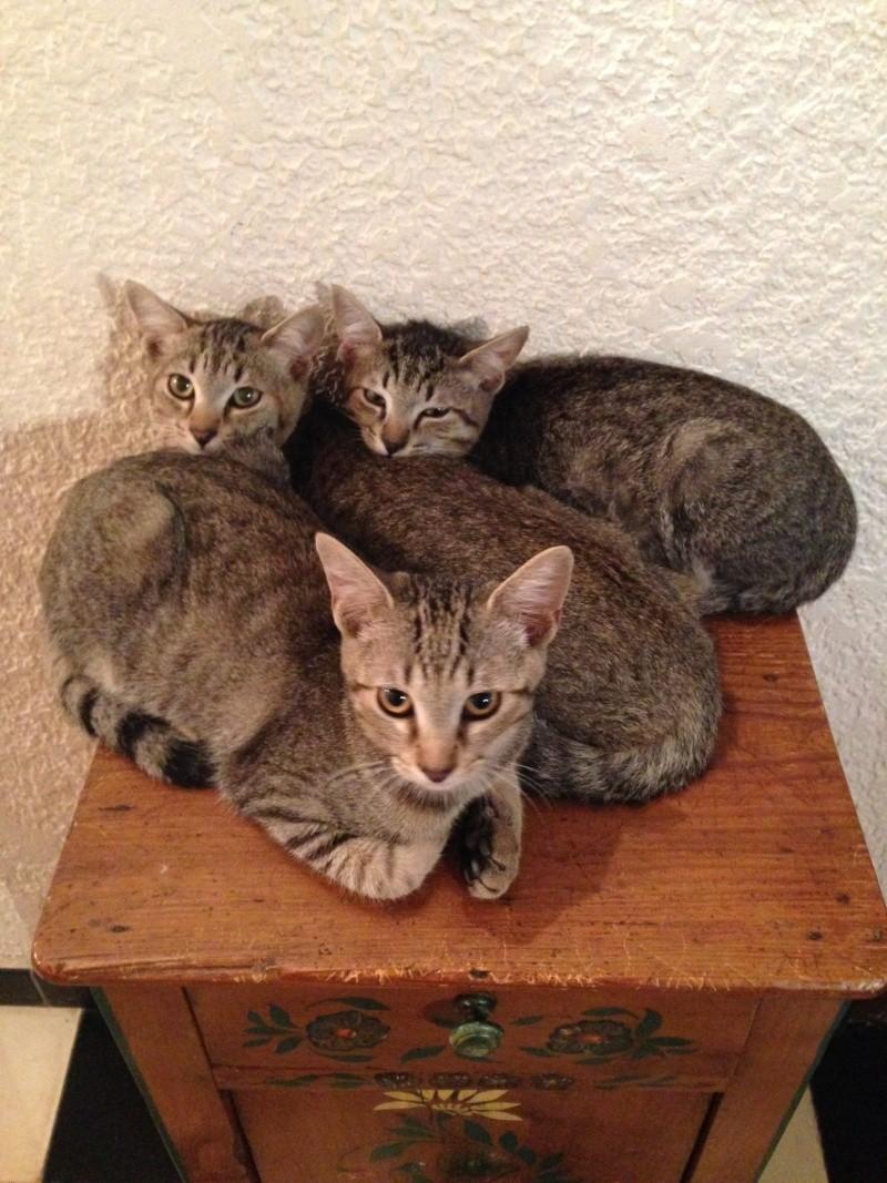 Choupi, Tiloup, et Tibout chatons mâles tigrés 4 mois cherchent une famille Choupi11