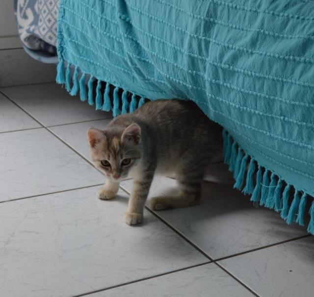 LOXI, chatonne tigrée crème/grise, née le 01/05/15 Dsc_0025