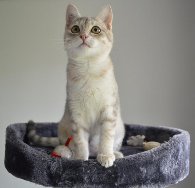 LOXI, chatonne tigrée crème/grise, née le 01/05/15 Dsc_0026