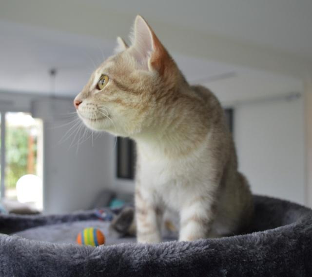 LOXI, chatonne tigrée crème/grise, née le 01/05/15 Dsc_0027