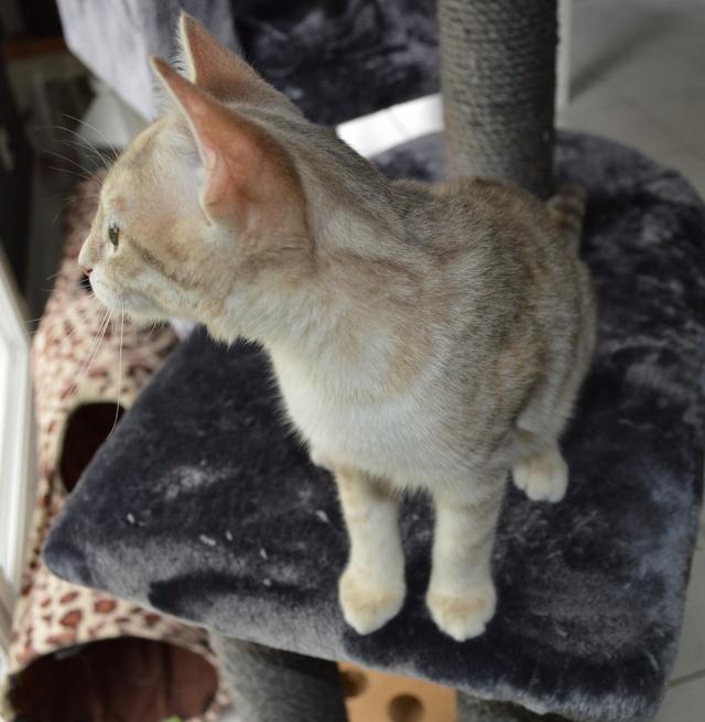 LOXI, chatonne tigrée crème/grise, née le 01/05/15 Dsc_0029