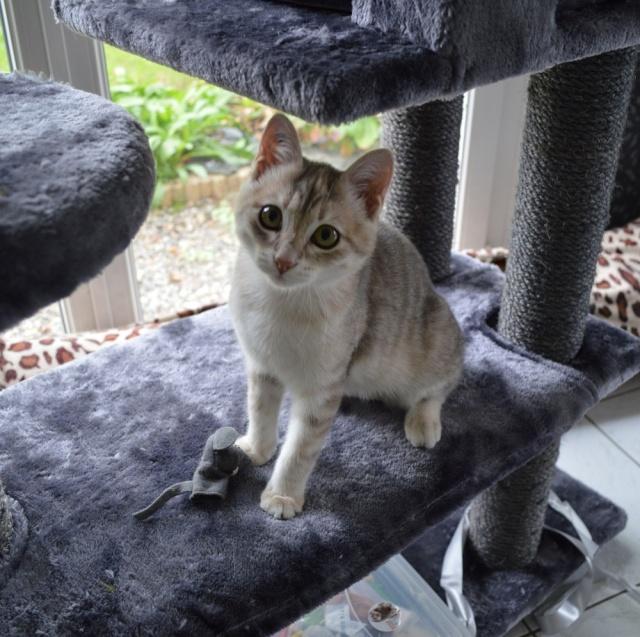 LOXI, chatonne tigrée crème/grise, née le 01/05/15 Dsc_0030