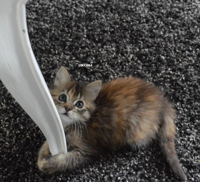 LOUCHKA-femelle écaille angora-née le 22/08/2015 Dsc_0112