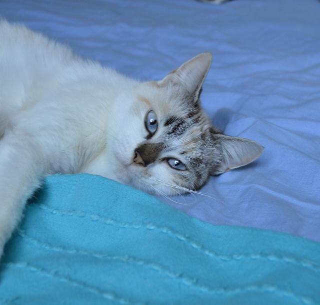 JEZABELLE, chatte blanche et beige, née en 2014 Dsc_0136