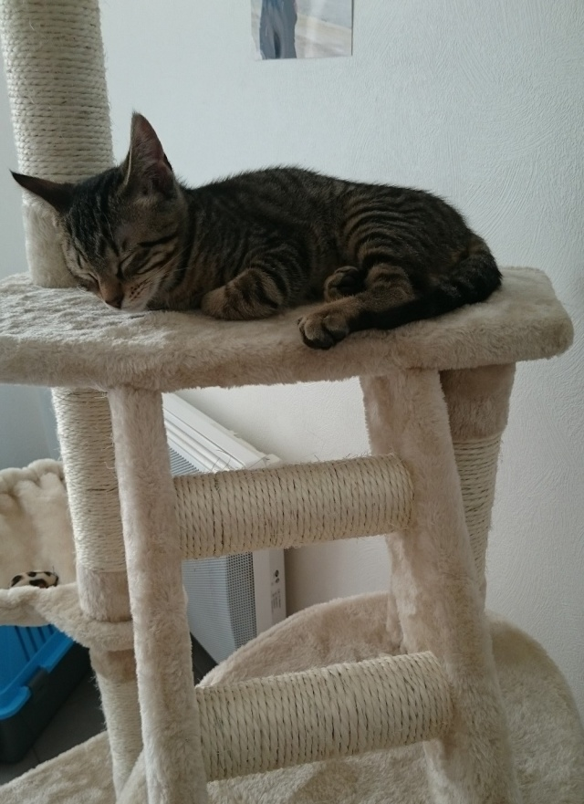 LUIGI, chaton  Tabby beige, né le 01/06/2015 Dsc_0514