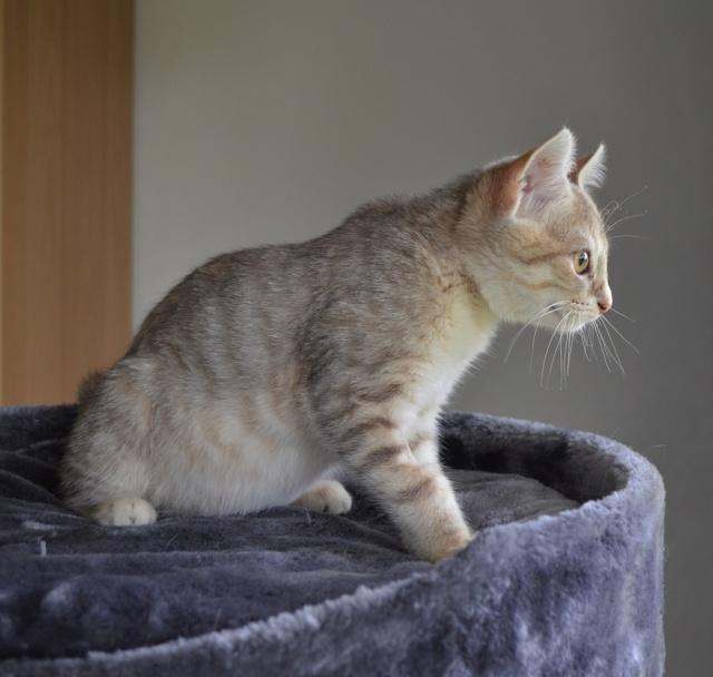 LOXI, chatonne tigrée crème/grise, née le 01/05/15 Loxi_110
