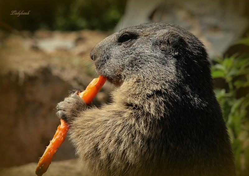 marmota Img_4411